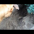 Samson - Digger Dog - Gräber Hund